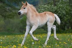 Running nice haflinger pony foal