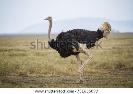 Running ostrich - Serengeti National park - Tanzania - Shutterstock ID 731635099