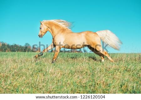 running palomino welsh pony with long mane posing at freedom #1226120104
