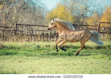 running palomino welsh pony with long mane posing at freedom #1226120110