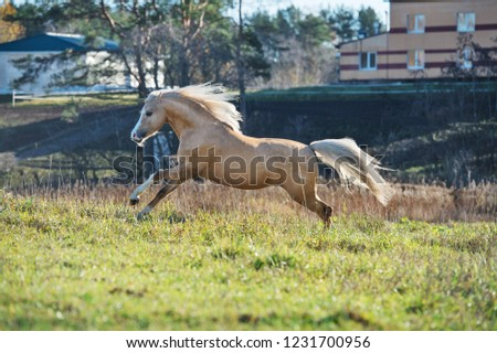 running palomino welsh pony with long mane posing at freedom #1231700956