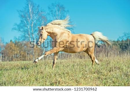 running palomino welsh pony with long mane posing at freedom #1231700962
