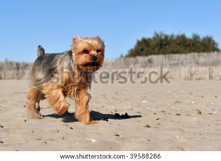 running purebred yorkshire terrier on a beach