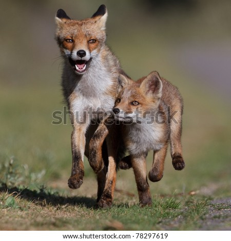 running red fox with cub