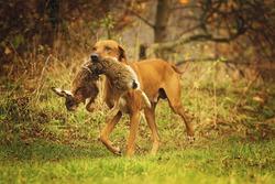 running ridgeback dog with hare