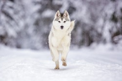 running Siberian husky wolf dog in winter forest outdoor on the snow