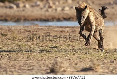 Running Spotted Hyena