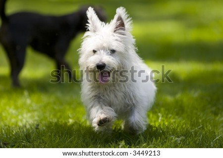 Running  West highland terrier - stock photo