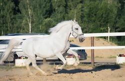 running white Lipizzaner horse