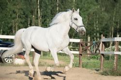 running white Lipizzaner horse in paddock
