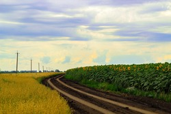 Rural dirt road leading along the sunflowers and oats. Country road in the fields. Many yellow sunflowers on a large green field. Summer harvest, agriculture and farming.