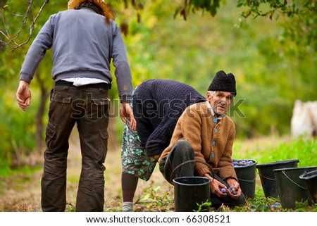 Rural family at plum harvesting in an orchard