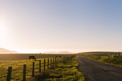 Rural highway through pastures with cows grazing on grass at sunset in Point Reyes, California