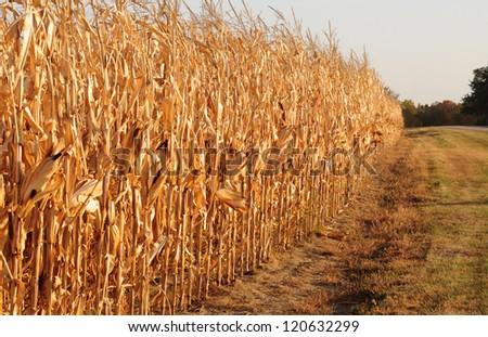 Rural landscape: Field of corn ready for harvest
