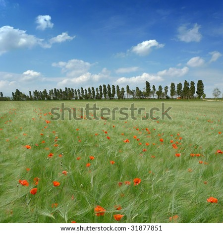 Rural landscape in spring with poppies in a wheat field