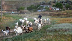 Rural landscape of a shepherd with a herd of goats. A shepherd leads a herd of goats along a path in the steppe zone