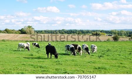 Rural Landscape of Cattle Grazing in a Green Field in Summer