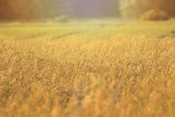 Rural landscape. Rural background. Golden wheat field. Grain and grass field. Sunny rural landscape