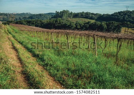 Rural landscape with leafless grapevines in a vineyard aside a pathway and buildings from Bento Gonçalves at the horizon. A friendly country town in southern Brazil famous for its wine production. #1574082511