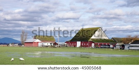 Rural landscape with old farmhouse and red barn with flooded field in foreground and snow geese