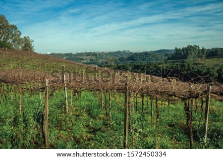 Rural landscape with rows of leafless grapevines in a vineyard and buildings from Bento Gonçalves at the horizon. A friendly country town in southern Brazil famous for its wine production. #1572450334