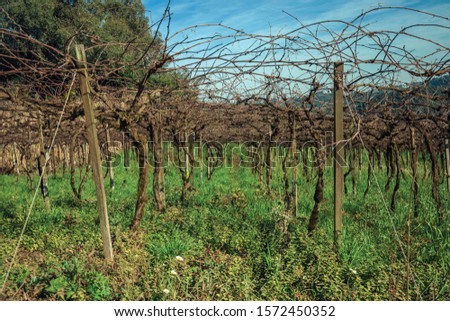 Rural landscape with rows of trunks and branches of leafless grapevines above underbrush, in a vineyard near Bento Gonçalves. A friendly country town in southern Brazil famous for its wine production. #1572450352