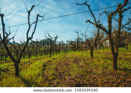 Rural landscape with rows of trunks and branches of leafless grapevines above underbrush, in a vineyard near Bento Gonçalves. A friendly country town in southern Brazil famous for its wine production #1585039540