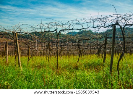 Rural landscape with rows of trunks and branches of leafless grapevines above underbrush, in a vineyard near Bento Gonçalves. A friendly country town in southern Brazil famous for its wine production #1585039543