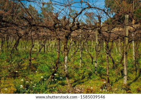 Rural landscape with rows of trunks and branches of leafless grapevines above underbrush, in a vineyard near Bento Gonçalves. A friendly country town in southern Brazil famous for its wine production #1585039546