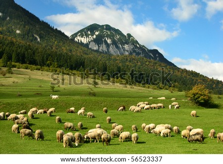 Rural landscape with sheeps in Carpathian mountains