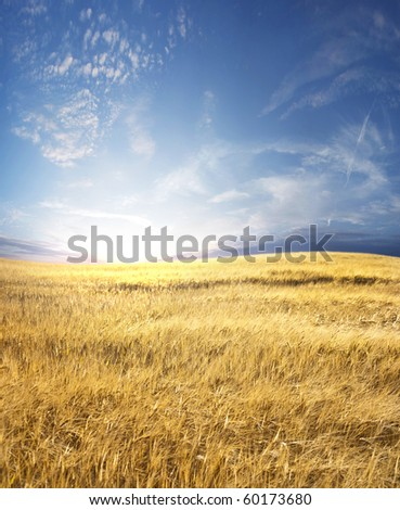Rural landscape with tractor road in wheat field #60173680