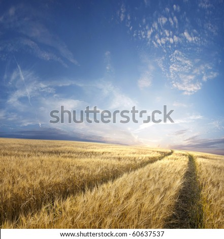 Rural landscape with tractor road in wheat field