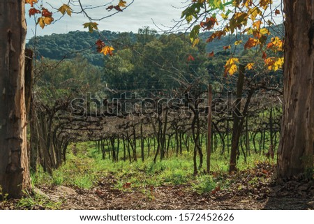 Rural landscape with trunks and branches of leafless grapevines behind plane tree trunks, in a vineyard near Bento Gonçalves. A friendly country town in southern Brazil famous for its wine production. #1572452626