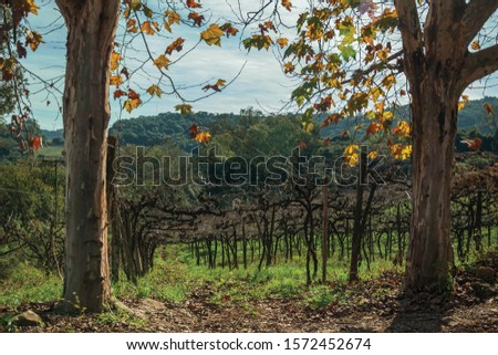 Rural landscape with trunks and branches of leafless grapevines behind plane tree trunks, in a vineyard near Bento Gonçalves. A friendly country town in southern Brazil famous for its wine production. #1572452674