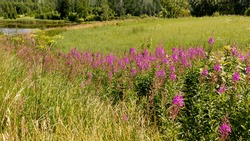 Rural landscape with uncultivated meadow with tall grass and medicinal plants - rosebay Willowher Chamaenerion angustifolium.   Small lake in the distance. Latvia
