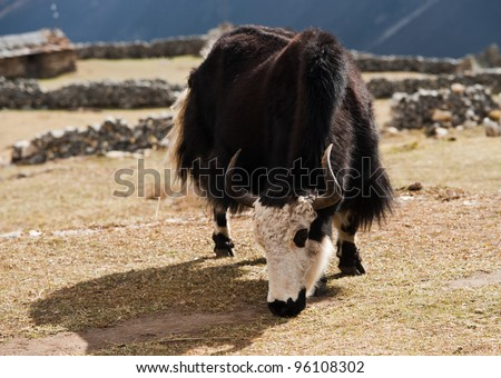 rural life in Nepal: Yak and highland village in Himalayas