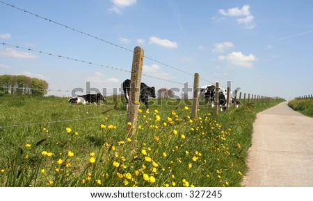Rural road, fence and meadow with cows