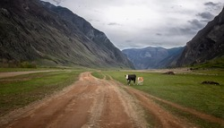 rural road in a mountain gorge in the summer. a cow and a calf stand near the road, thunderous gray and white clouds in the blue sky, green trees along the road