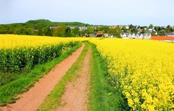 Rural road through a blooming field. Countryside rural road. Rural field road. Road in countryside