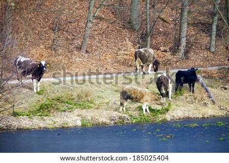 Rural scene. Herd of dairy cows farm animals on the river bank or lake shore. Countryside.