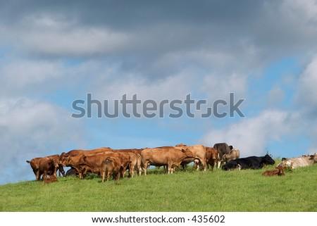 Rural scene of cattle in a field