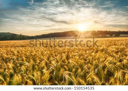 Rural scene of sun setting over the barley field  #150154535