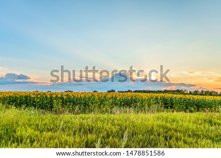 Rural sunset landscape. Dark rainy clouds with sunbeams over the blooming sunflowers field. Belgorod region, Russia. #1478851586