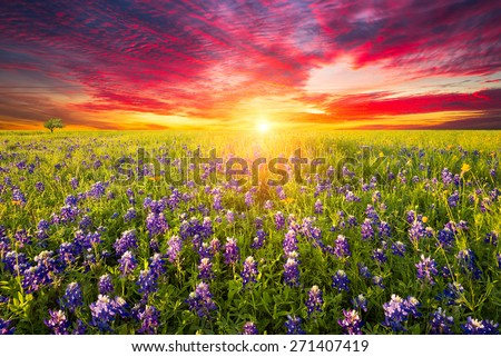 Rural Texas bluebonnets and sunflowers at sunrise