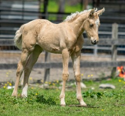 Rural Washington State farm animal, Young palomino horse colt standing in front of a fence