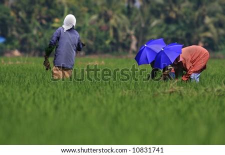 Rural women working in rice plantation