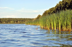 Rushes on the lake