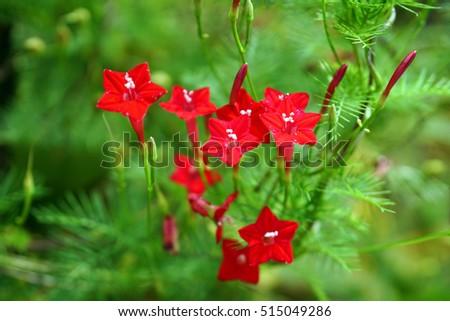 russelia equisetiformis flower  ...