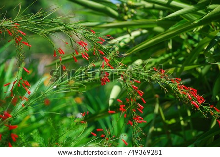 russelia equisetiformis...