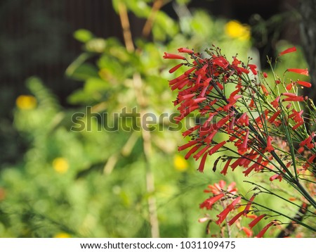 Russelia equisetiformis. Small red flowers commonly known as fountainbush, firecracker plant, coral plant, coral fountain, coralblow and fountain plant in green background